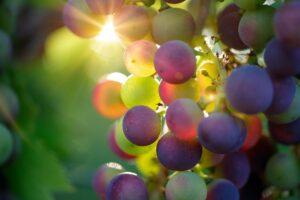 weintrauben , früchte , lebensmittel , frisch , gesund , reif , organisch , süß , produzieren , ernte , sonnenlicht ,