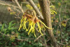 hamamelis virginiana , gewöhnliche zaubernuss , amerikanische zaubernuss , strauch , blütenstand , flora , botanik , pflanze ,