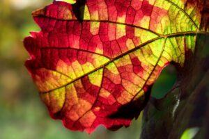 rotes weinlaub , blatt , struktur , adern , wein , rebstock , weinberg , weinreben , weinbau , weinanbau , weinstock , gegenlicht , lichtspiel , licht , laub , landwirtschaft , herbst , bunt , rot , gelb , grün ,