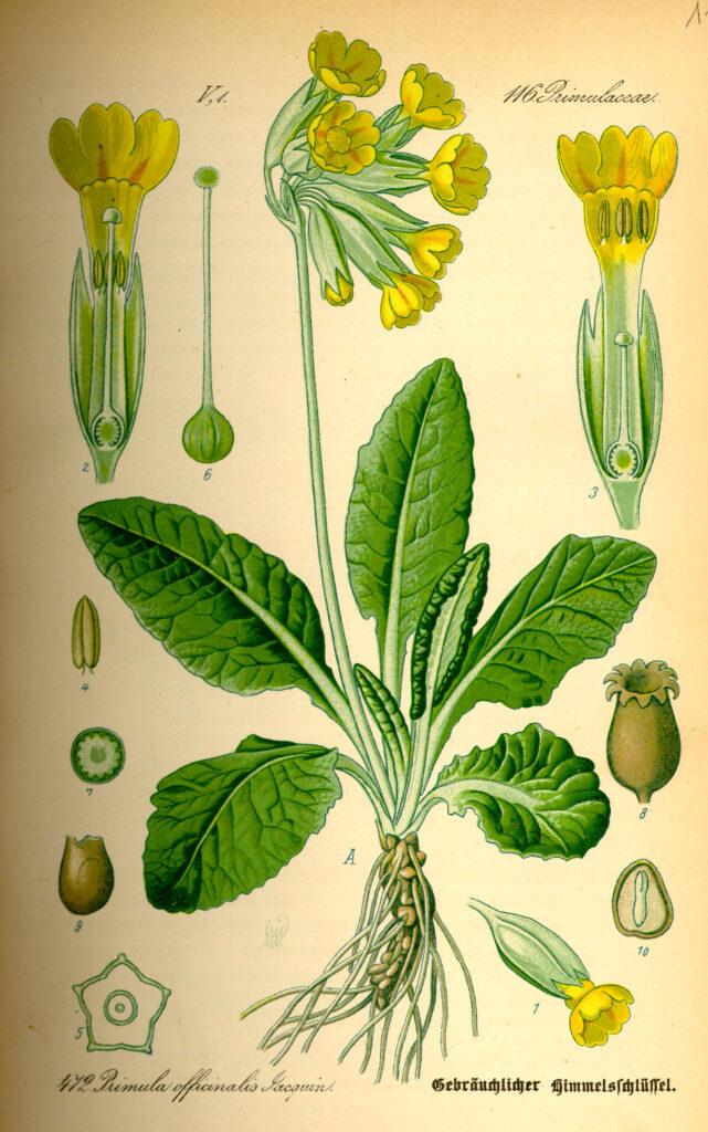 Echte Schlüsselblume (Primula veris) - Otto Wilhelm Thomé author QS:P50,Q76714, als gemeinfrei gekennzeichnet, Wikimedia Commons