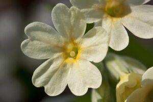 schlüsselblume , frühlingsbote , blüte , hohe schlüsselblume , primula elatior , wald-schlüsselblume , pflanzenart , primel , gelb , nahaufnahme , makro , frühling , lenz , frühjahr ,