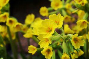 schlüsselblumen , frühling , gelb , blühen , himmelsschlüssel , frühlings-schlüsselblume , wiesenblume , echte schlüsselblume , garten , blumen , primula , primula veris , hohe schlüsselblume ,