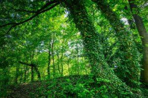 wald , efeu , baumstamm , natur , fantasy , fee , mystisch , landschaft , blätter , stimmung , märchen , grün , atmosphäre , waldboden , stimmungsvoll , romantisch , bäume ,