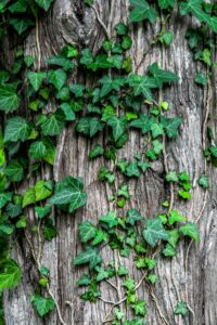 efeu , blätter , schlingpflanze , garten , pflanze , bellen , baum , stamm , natürlich , flora , ranke , botanik , kletterpflanze ,