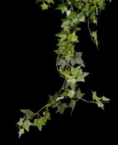 Gemeine Efeu, Gewöhnlicher Efeu (Hedera helix)