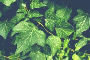efeu , pflanzen , blätter , laub , grün , garten , kletterpflanze , vegetation , natur ,