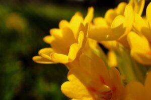 natur , blume , schlüsselblume , nahaufnahme , pflanze , frühling , farbe , gelb ,