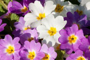 primeln , primula vulgaris-hybride , magenta , weiß , pflanzengattung , primelgewächse , primel-sorten , blumen , blüten , frühling , lenz , hybride ,