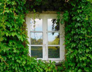 fenster , efeu , kletterpflanze , grün , wand , fassade , bewuchs , hauswand , mauer , pflanze , efeublätter , efeugewächs , wachsen , fensterrahmen , weißes fenster ,